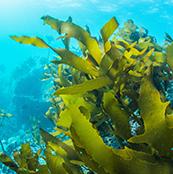 Jeju Seaweed
